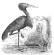 Engraving of a Reddish Egret (ardea rufa or Egretta rufescens)