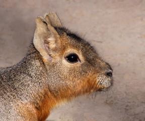 Portrait eines jungen Mara (Dolichotis patagonum)