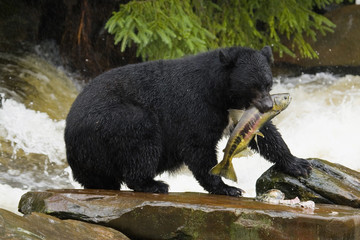 Black Bear, Alaska, Ketchikan