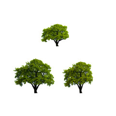 Oak tree on white background