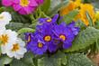 Primeln im Blumenbeet