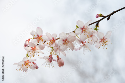 The plum blossoms in Japan