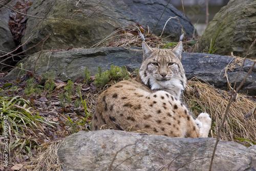 Papiers peints Puma lince sulle rocce, foresta della Baviera