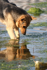 The dog looking in water