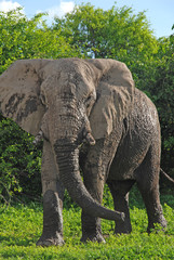 wild african elephant (South Africa)