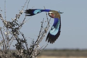 Lilac-breasted Roller, Etosha, Namibia