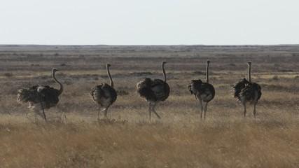 Ostrich group, Etosha, Namibia