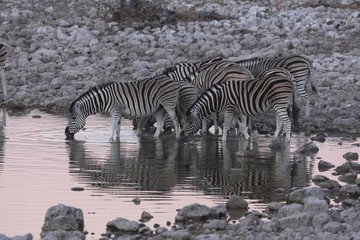 Zebras at waterhole, Etosha, Namibia
