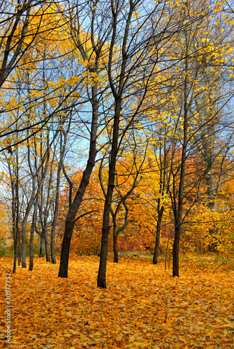 autumn forest and yellow trees