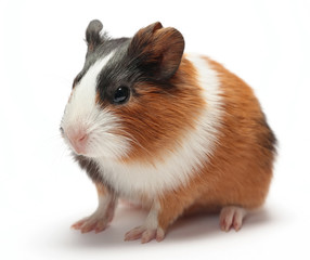Guinea pig baby on white