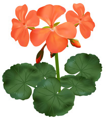 vector illustration of blooming geranium