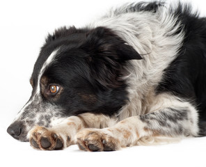 border-collie in studio