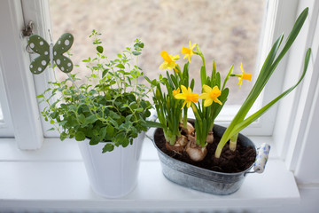 Narcissus and oregano in window ledge
