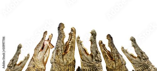 Alligatoren mit offenen Mäulen