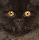 Close-up of British Longhair cat, 6 months old poster
