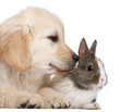 Close-up of Golden Retriever puppy, 20 weeks old, and a rabbit