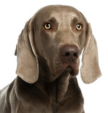 Close-up of a Weimaraner, 3 years old poster
