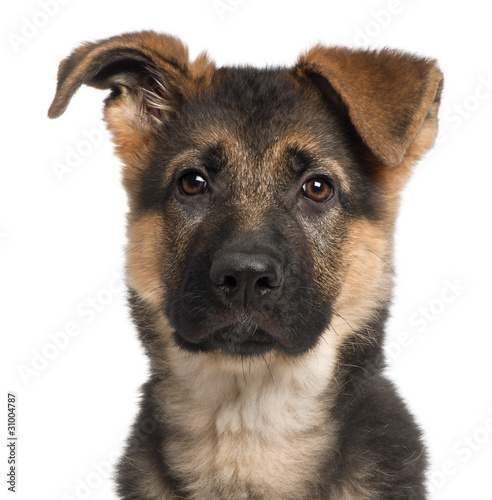 German Shepherd Stock Photo Download Puppy Royalty Free Images | Dog ...