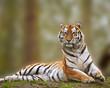 Alert Siberian tiger responds to loud noise