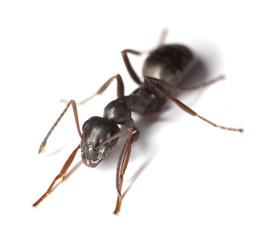 Black garden ant (Lasius niger) isolated on white background