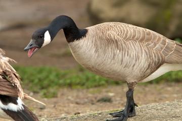 Irate Goose