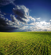field with green grass under deep blue sky with clouds