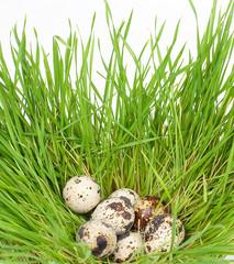 Quail eggs in a green grass