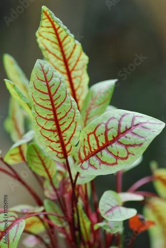 sauerampfer heilpflanze rumex acetosa von petrabarz. Black Bedroom Furniture Sets. Home Design Ideas