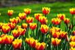 Feuerige Tulpen