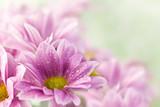 Fototapety Beautiful spring daisy flowers