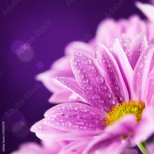 wiosny-stokrotka-kwitnie-przeciw-purpurowemu-tlu