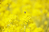 honeybee flying high yellow flower field