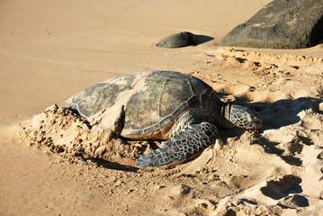 żółw, duży