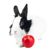 rabbit with red apple isolated