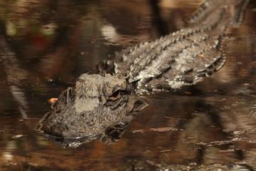 American Alligator - Okefenokee Swamp, Georgia