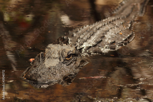 American Alligator - Okefenokee Swamp, Georgia