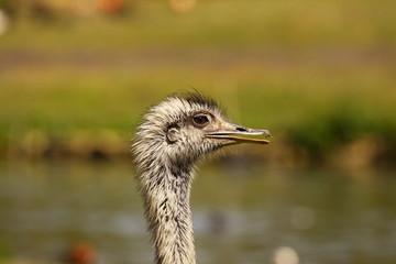 Emu, ostrich