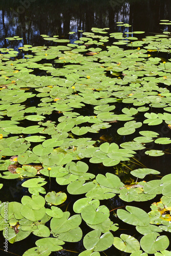 River with water lily