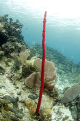 red tropical erect rope sponge, utila, honduras