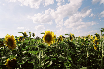 Sonnenblumenfeld 2 / sunflowers underneath an amazing sky 2