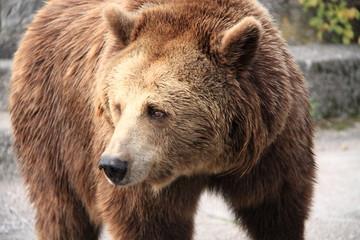 Closeup shot of a brown bear.