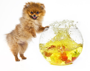 Pomeranian puppy and strawberries splashing into a bowl