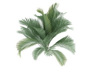 Cat Palm (Chamaedorea cataractum)
