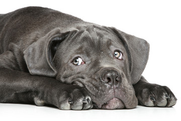Cane corso puppy lying on a white