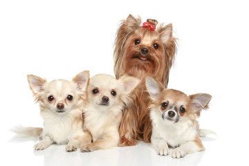 Long coat chihuahua and Yorkshire terrier