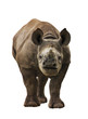 Endangered Baby Black Rhinoceros Isolated