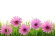 Pink daisy flower in green grass