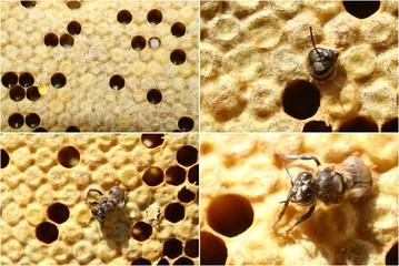 abeilles, naissance