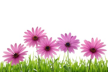 Pink daisy flower in green grass