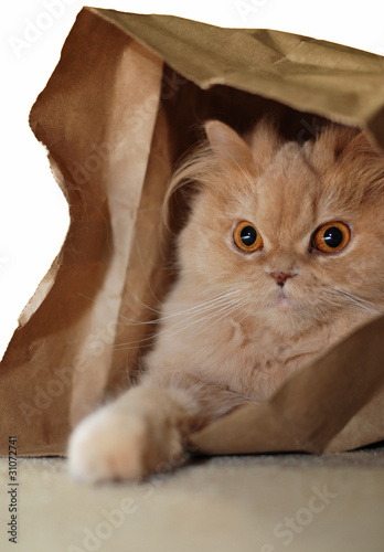 Persian cat hide in the bag